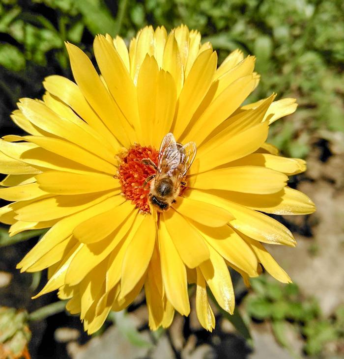 pcela-na-cvjetu-grobotek-1